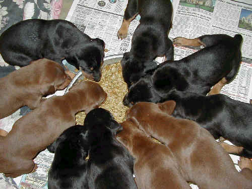 doberman puppies eating for first time