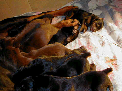 Doberman puppies tail docking and dew claw removal