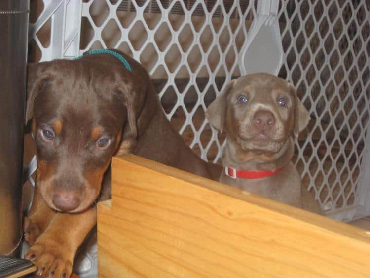 reds and fawns doberman puppies