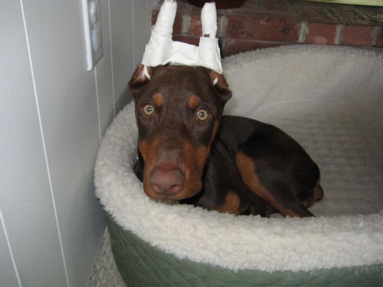 red and rust doberman female