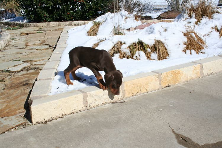doberman puppy checking out snow first time