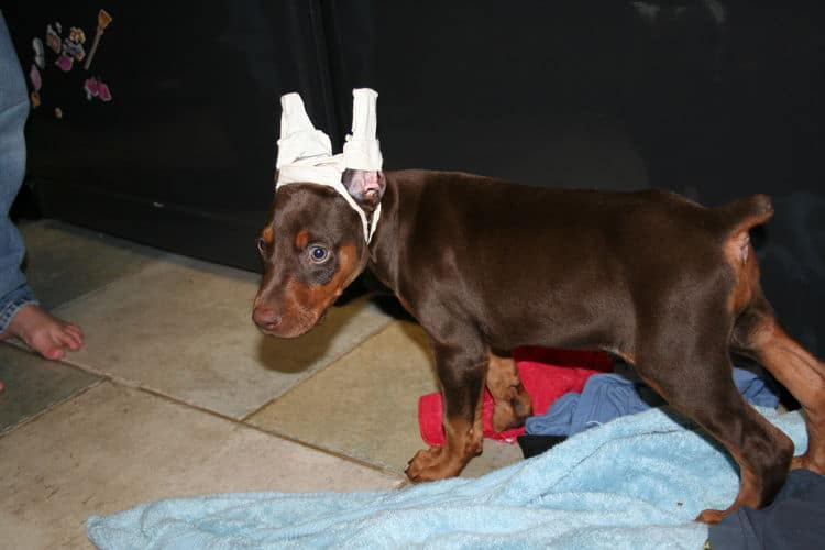 red and rust ear cropped doberman pup