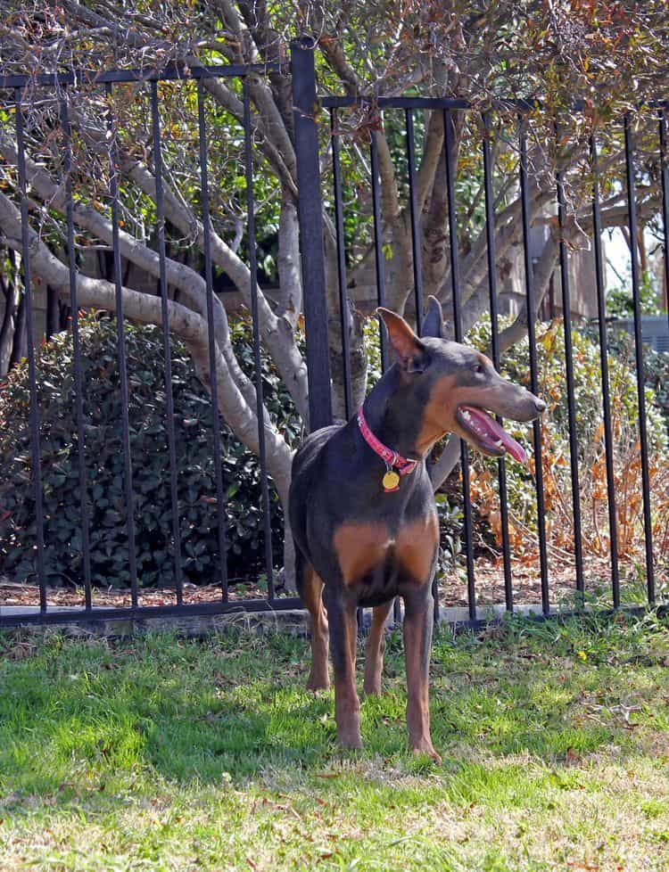 blue and rust female doberman