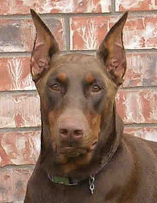 red female doberman mom