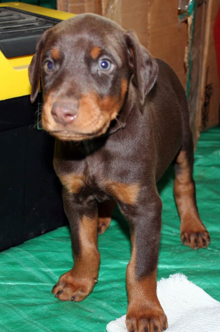 male doberman pup