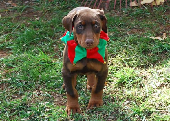 red rust girl dobe pup