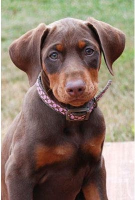 red dobie girl
