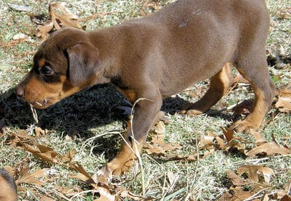 red and rust female doberman pup