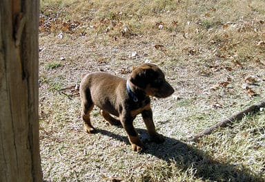 doberman puppies, red male