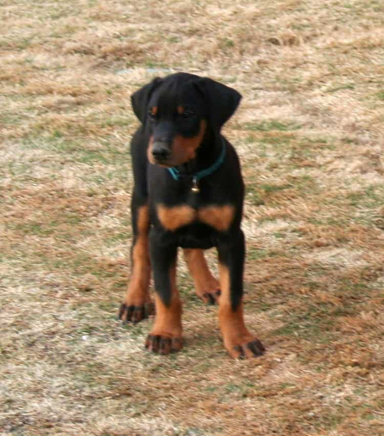 doberman puppies children