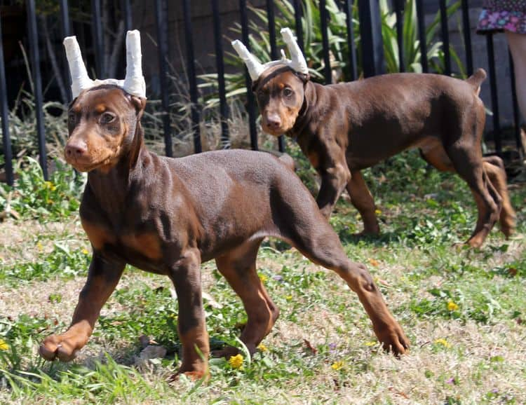 10 week old puppies playing; champion sired