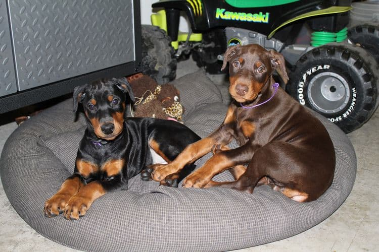 cropped black and rust, red and rust female dobie pups; champion sired