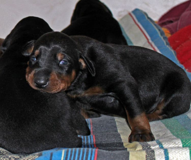 2 week old dobie pups black and rust, red and rust; champion sired