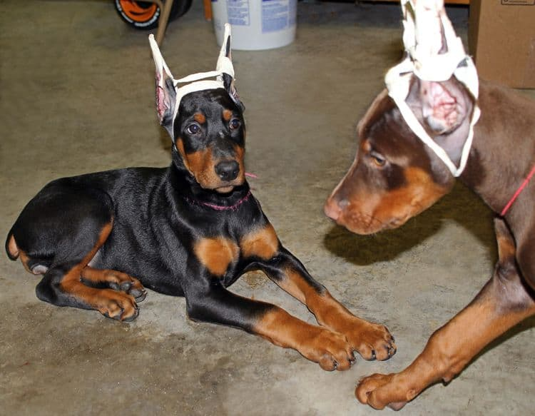 cropped black and rust female doberman puppy - trip to vet; champion sired