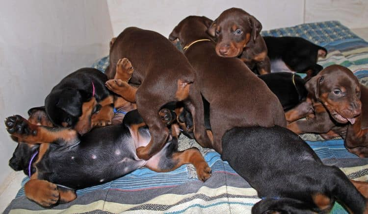 4 week old doberman pups black and rust, red and rust; champion sired