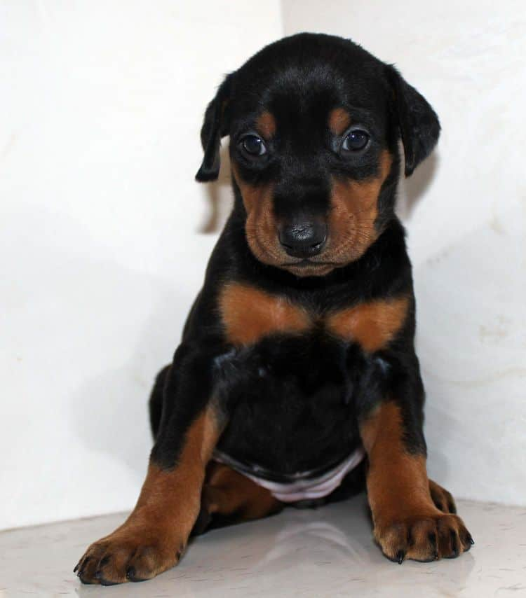 Black and rust female dobe tagged Purple at 4 weeks old