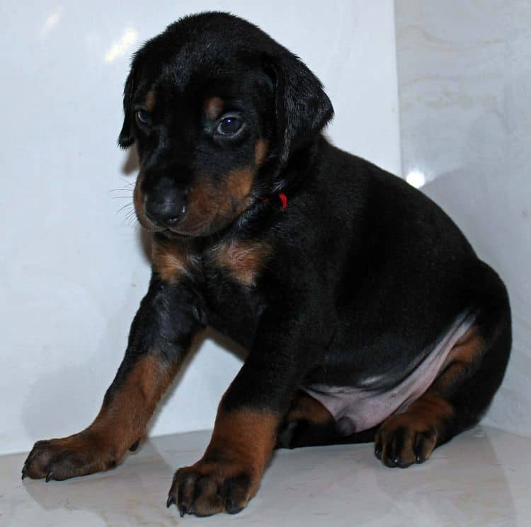 Black and rust male dobe tagged Red at 4 weeks old