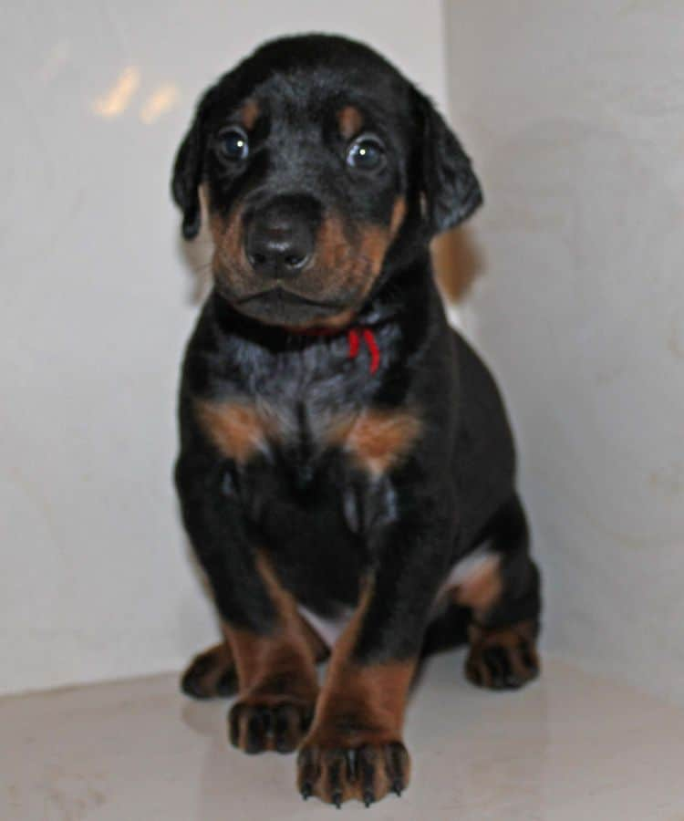4 week old black and rust male doberman pup; champion sired