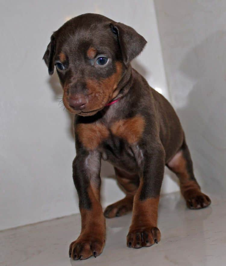 Red and rust female dobe tagged Pink at 4 weeks old