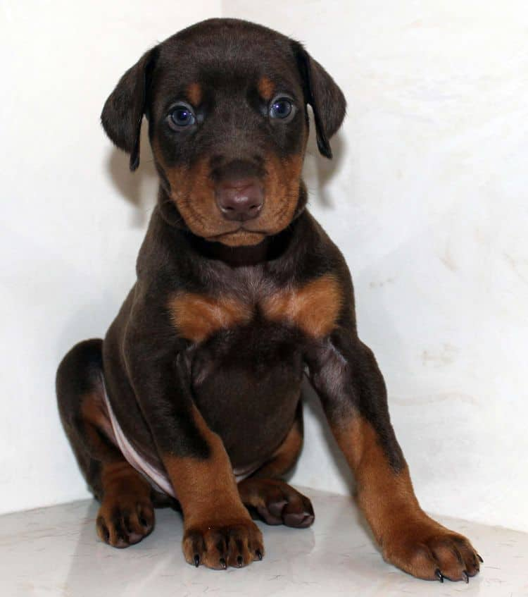 Red and rust male dobe tagged Blue at 4 weeks old