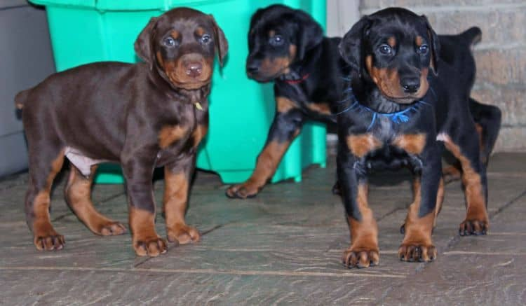 5 week old doberman puppies; champion bloodline