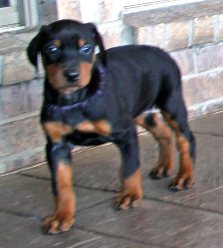 black and rust dobermann female puppy at 5 weeks old