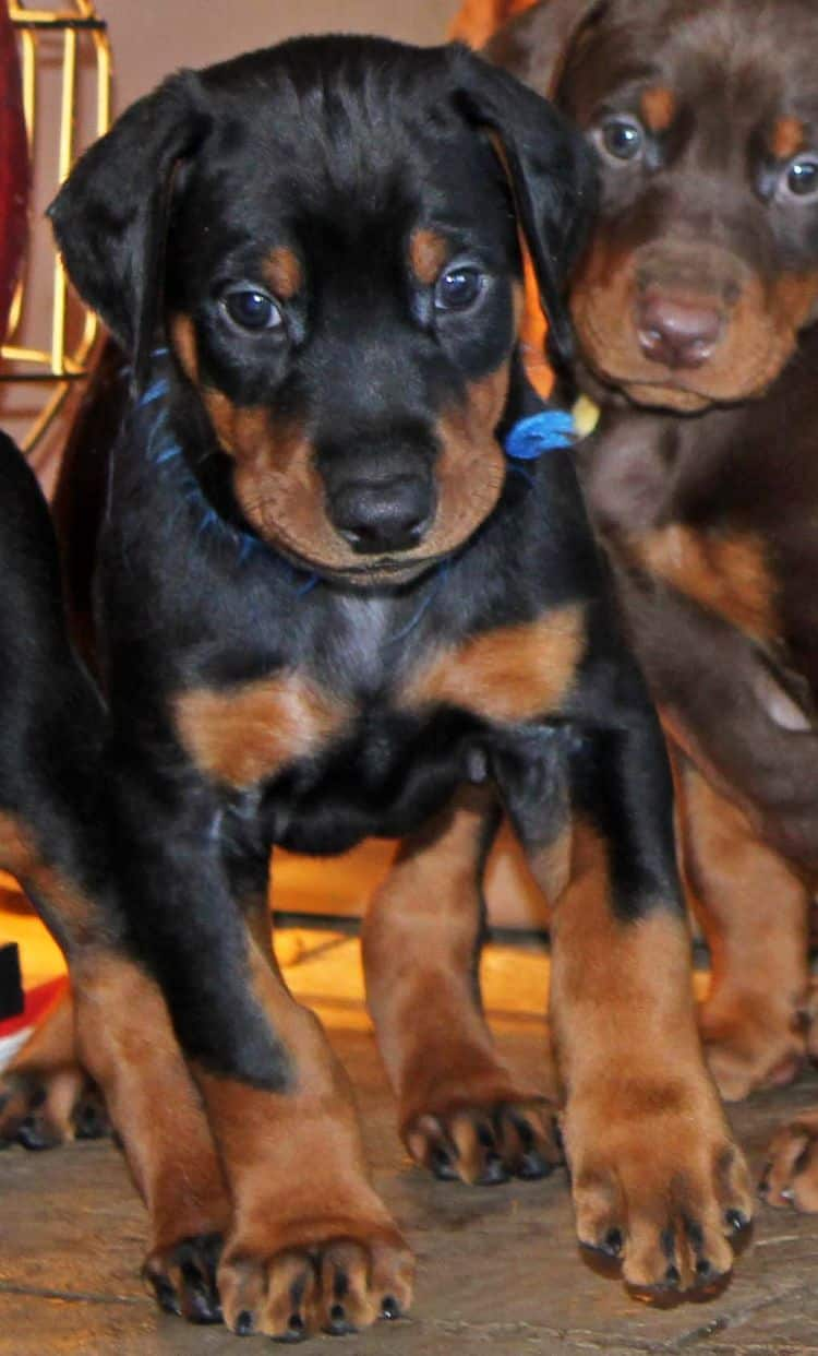 5 week old black and rust male doberman pup; champion sired