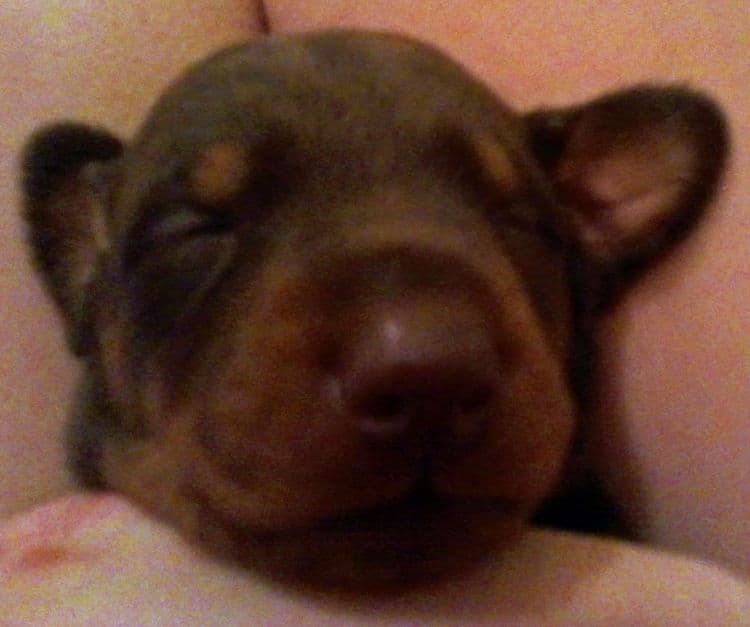 2 week old dobe pups black and rust, red and rust; champion sired