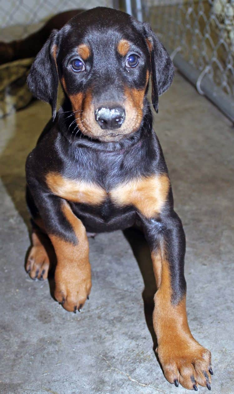 6 week old black and rust female doberman pup; champion sired