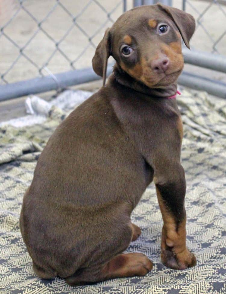 6 week old red and rust female doberman pup; champion sired