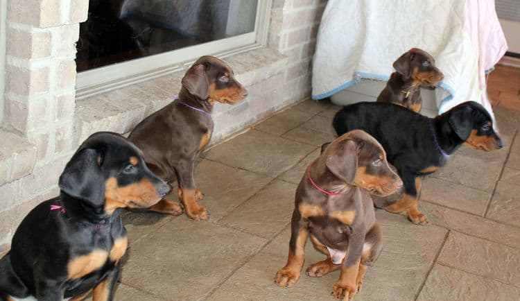 7 week old black/rust and red/rust doberman pups