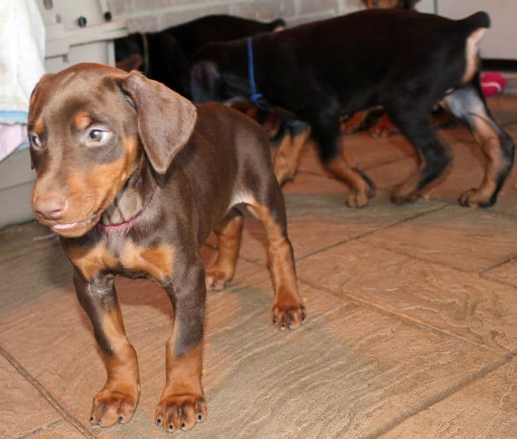 7 week old red and rust female doberman pup; champion sired