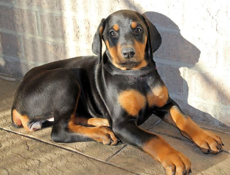 8 week old black and rust female doberman pup; champion sired