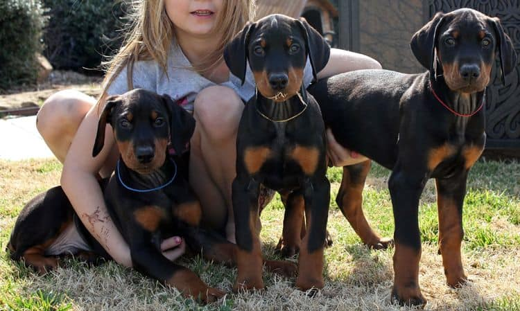 8 week old black and rust male doberman pups; champion sired