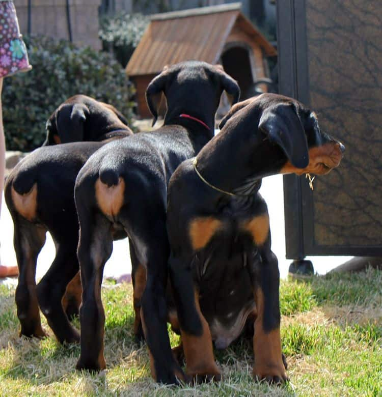 8 week old black and rust male doberman pups champion sired