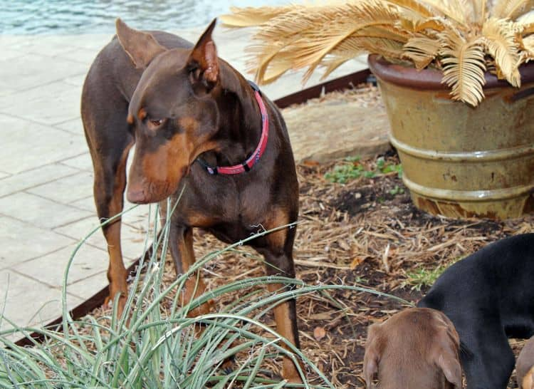 9 week old red and rust, black and rust doberman puppies; champion sired