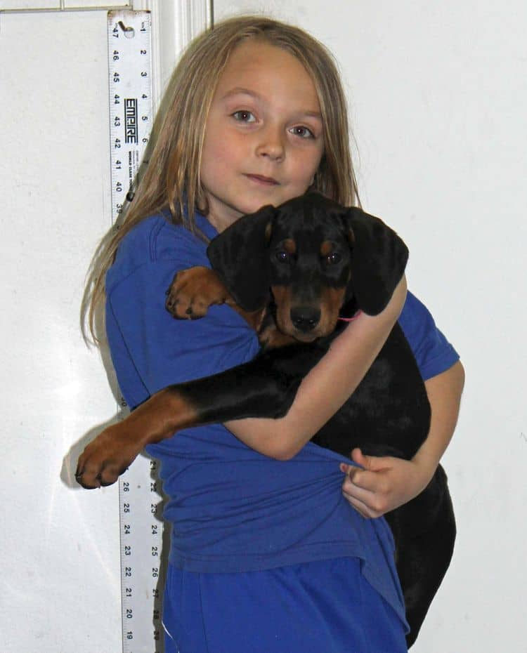 9 week old black and rust female doberman puppy; champion sired