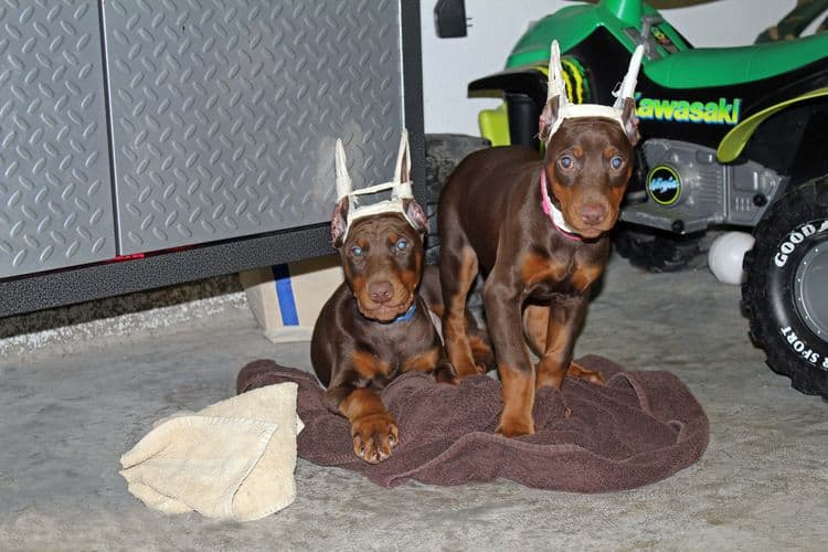 9 week old red and rust puppies with newly cropped ears; champion sired