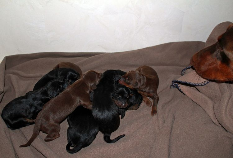 New born doberman puppies. Black and rust, Red and rust pups.