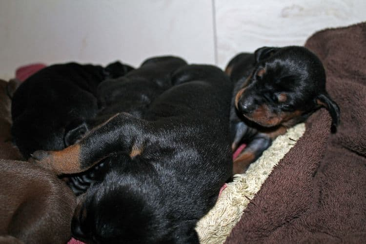 1 week old doberman puppies; red and rust, black and rust