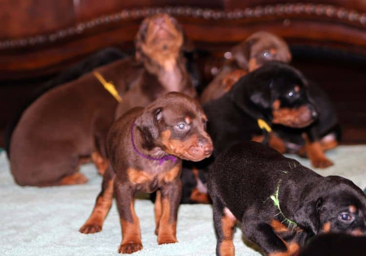 3 week old doberman puppies; red and rust, black and rust