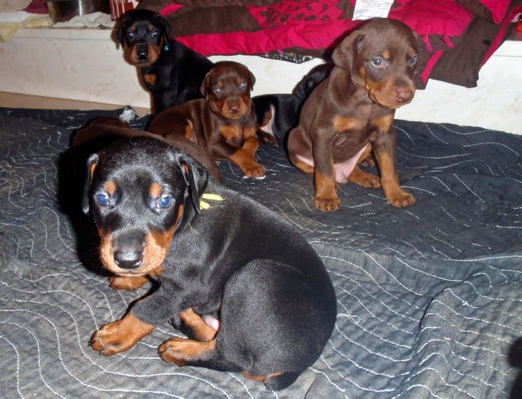 4 Week old doberman pups, red and rust, black and rust