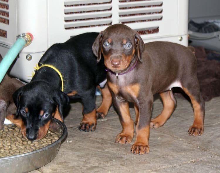 black and rust dobie puppies; red and rust dobe pups