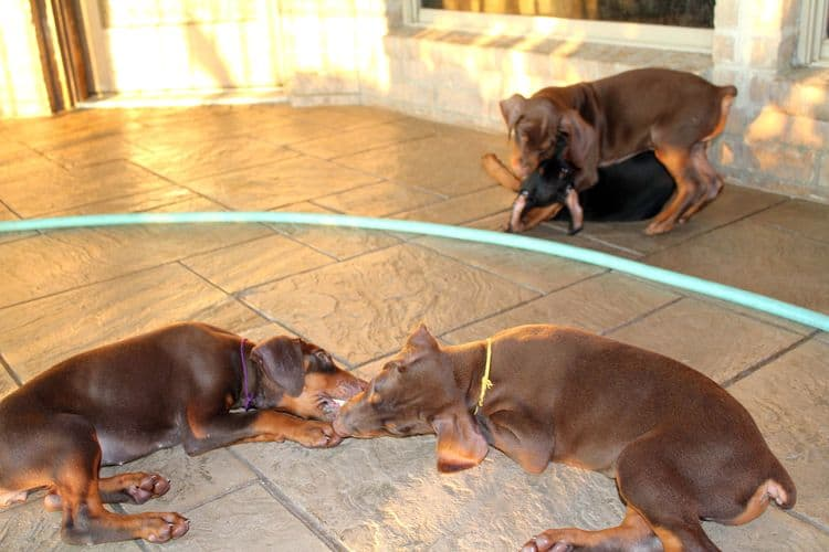7 week old doberman puppies; red and rust, black and rust