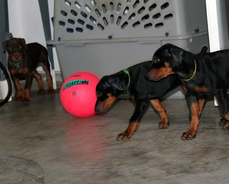 8 week old doberman puppies; red and rust, black and rust