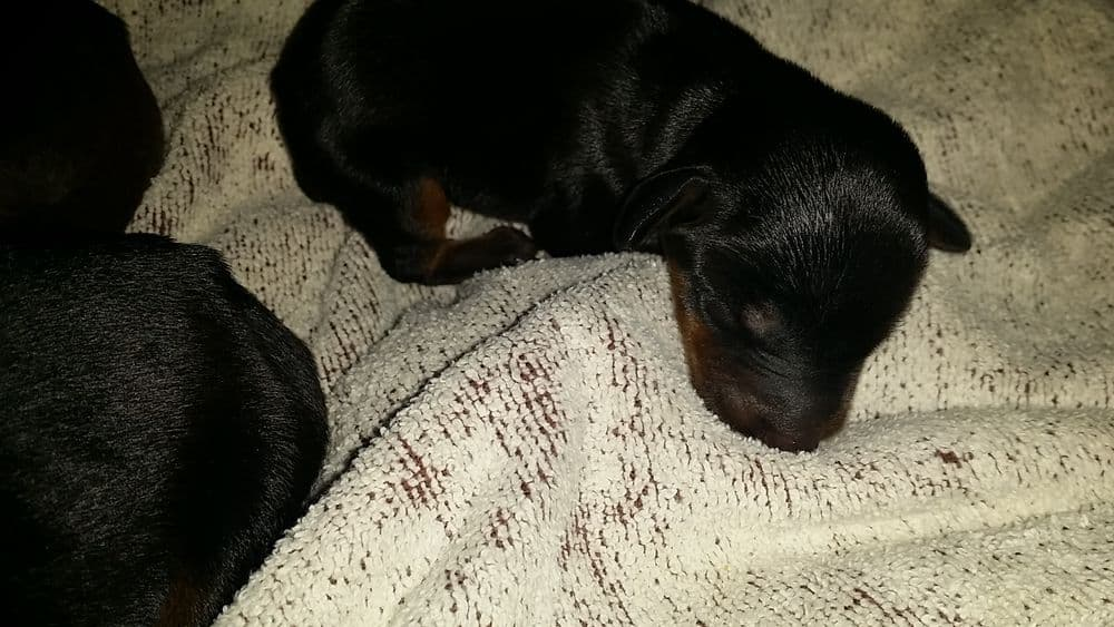 1 day old doberman puppies