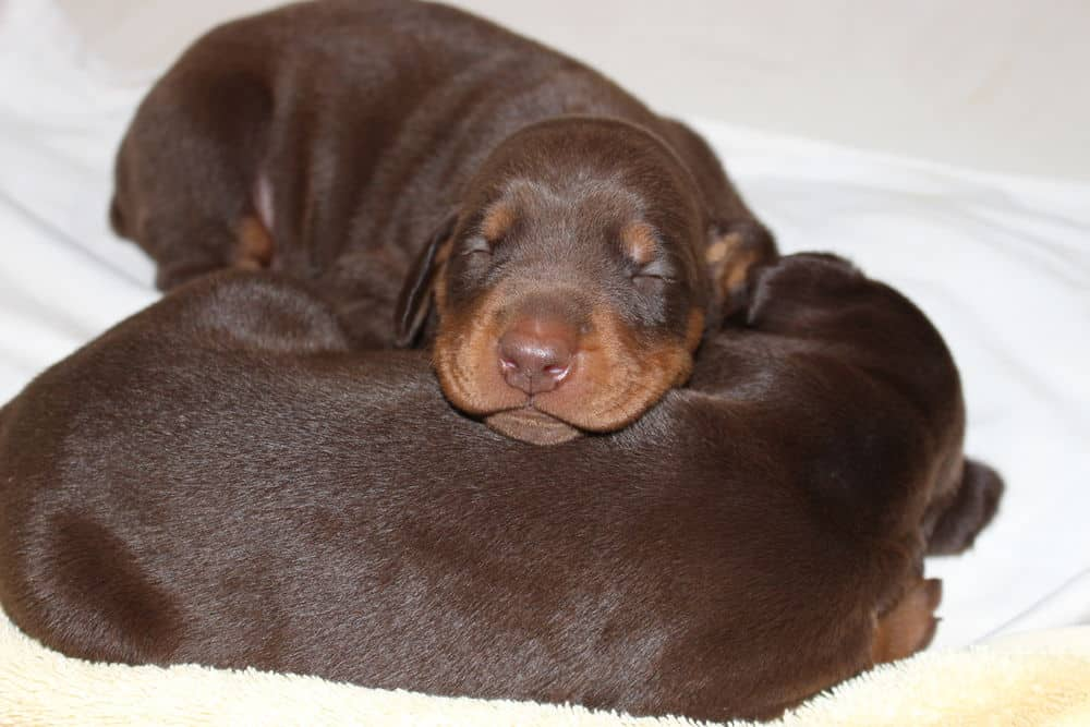 2 week old red and rust doberman puppies
