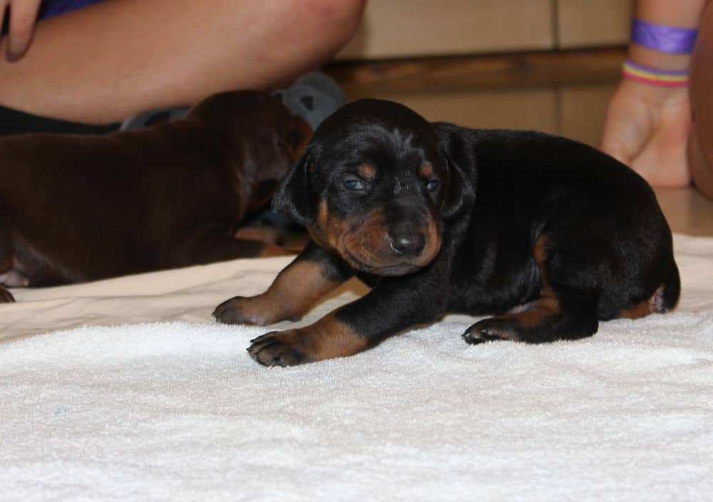 2 week old black and rust, red and rust doberman puppies