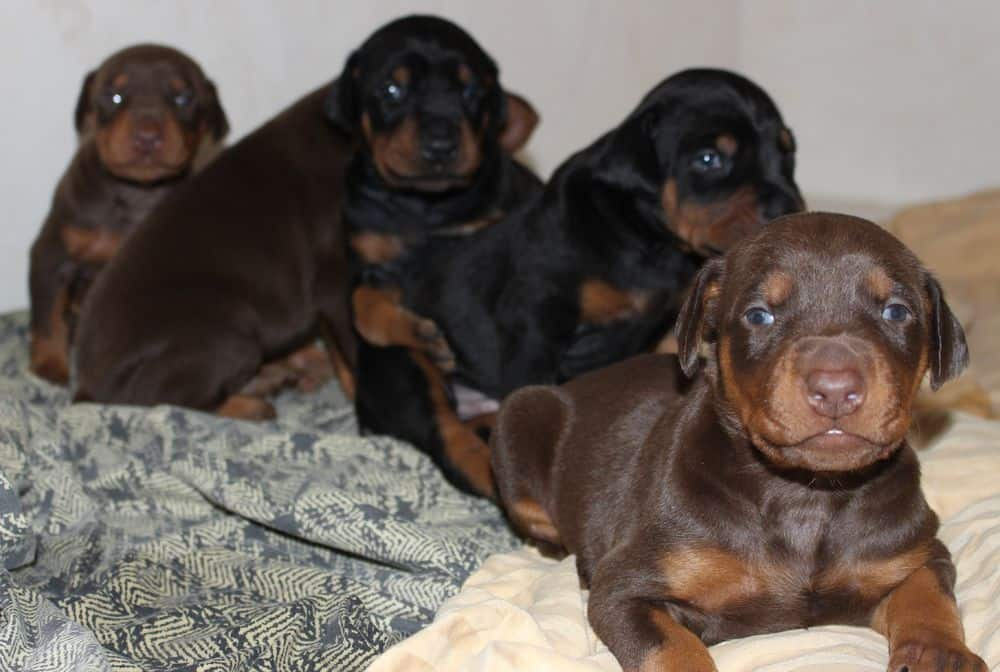 2-1/2  week old black and rust, red and rust doberman puppies