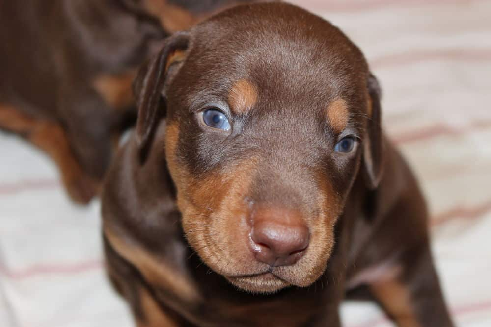 3 week old red and rust doberman puppy